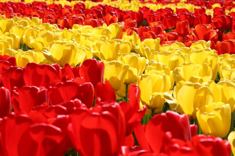 red-yellow tulips